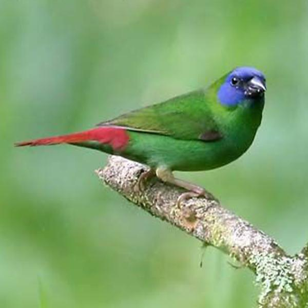 Blue Faced Parrotfinch
