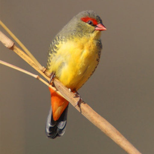 Gold Breastfed Waxbill Female