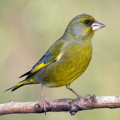 European Green Finch Famale