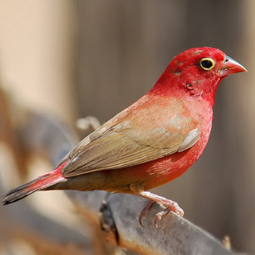 Fire Finch Red Billed Male