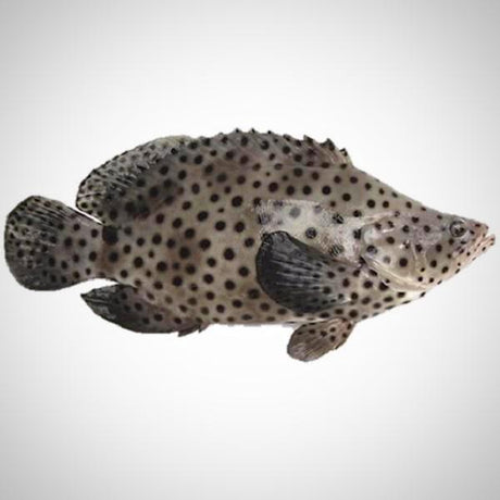 Live Mouse Grouper