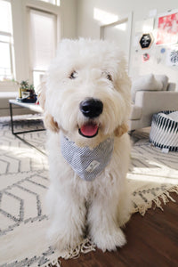 English Cream GoldenDoodle Bandana