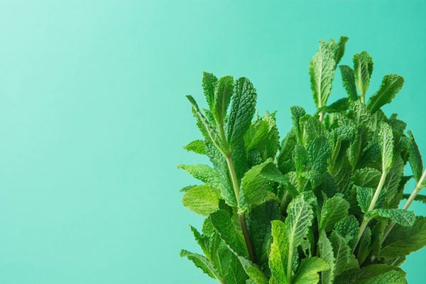 Cool, airy Peppermint is perfect for reviving your energy + clarifying a space