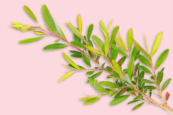 Tea Tree is known for calming nerves + dispelling stale, persistent odors while creating a feeling of cleanliness