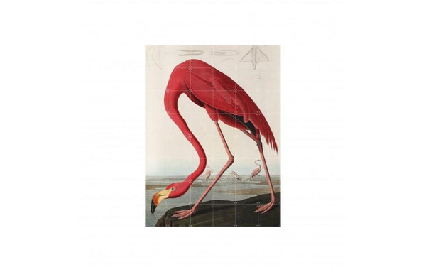 Flamingo Auduban