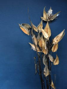 Dried Milkweed Bunch