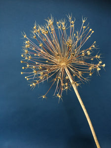 Dried Allium christophii Stem