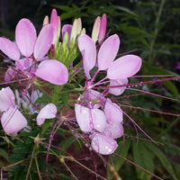 Cleome (Cleome hassleriana) Mixed Colors -  Butterfly Host and Nectar Plant