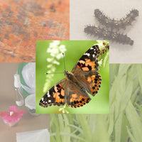 Butterfly Metamorphosis Kit- Painted Lady