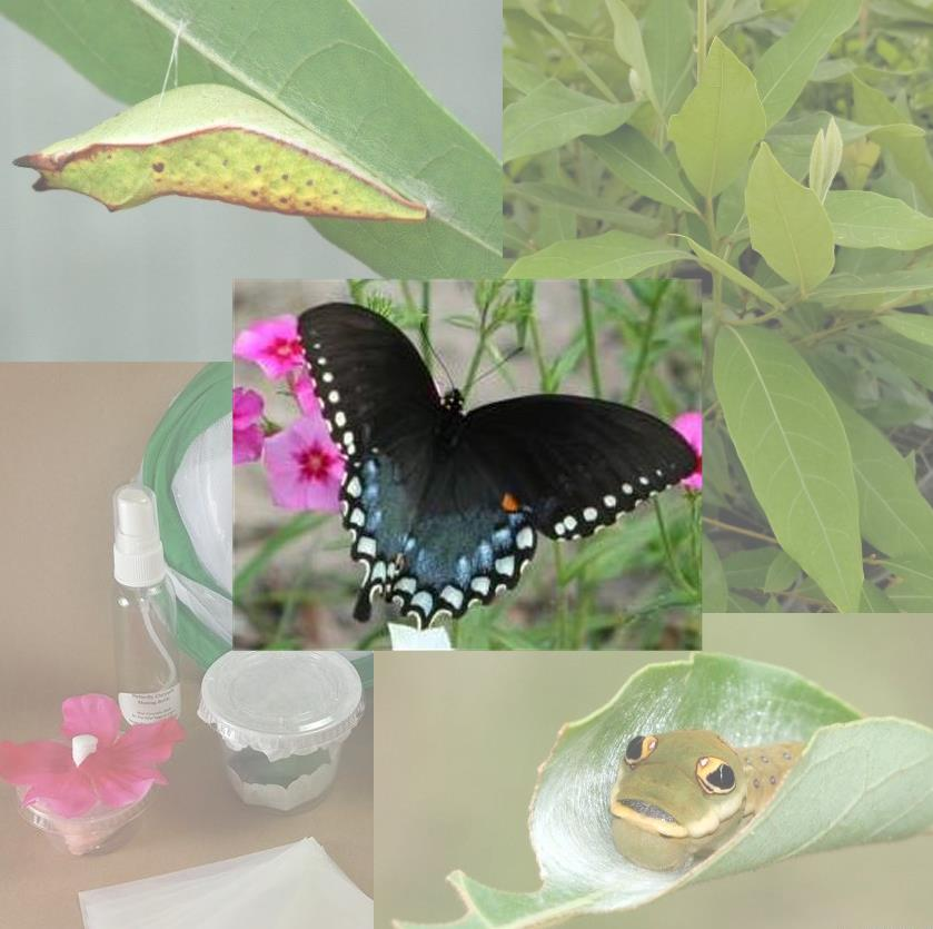 Butterfly Metamorphosis Kit - 3 Spicebush Swallowtail Butterflies
