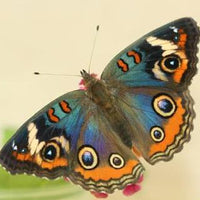 Butterfly Metamorphosis Kit - Common Buckeye Butterfly