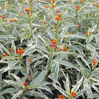 "Variegated Tropical Milkweed - Asclepias curassavica  ""Charlotte's Blush"" - Butterfly Host and Nectar Plant"
