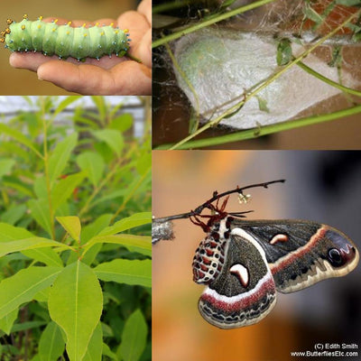 Moth Metamorphosis Kit - 4 Cecropia Moths