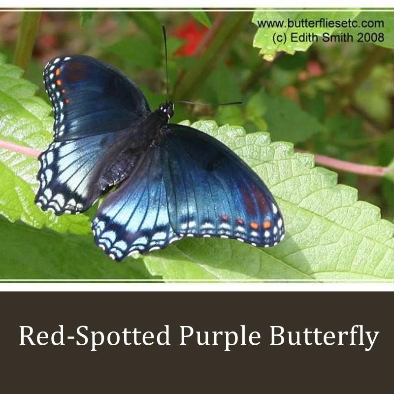 Butterfly Metamorphosis Kit - 3 Red-Spotted Purple Butterflies