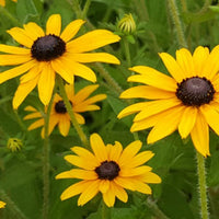 Orange Coneflower, Orange Black-eyed Susan - Rudbeckia fulgida - Native Butterfly Nectar Plant
