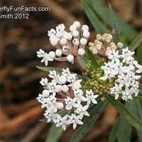 Aquatic Milkweed - Asclepias perennis - Butterfly Host Plant