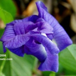 Pea Vine - Clitoria ternatea - Blue - Butterfly Host and Nectar Plant