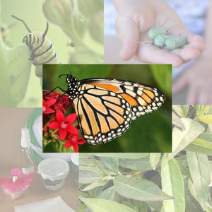 Butterfly Metamorphosis Kit - 4 Monarch Butterflies