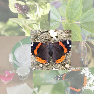 Butterfly Metamorphosis Kit- Red Admiral Butterfly