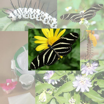 Butterfly Metamorphosis Kit - Zebra Longwing Butterfly