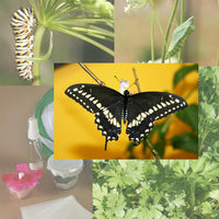 Butterfly Metamorphosis Kit - 3 Black Swallowtail Butterflies