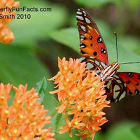 Butterfly Weed (Asclepias tuberosa) - Native Butterfly Host Plant