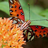 Passionvine Metamorphosis Kit - 2 each Zebra Longwing, Gulf Fritillary, and Julia Butterflies