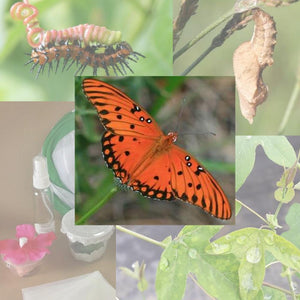 Butterfly Metamorphosis Kit - Gulf Fritillary Butterfly