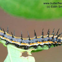 Gulf Fritillary Butterfly Caterpillars or Chrysalises