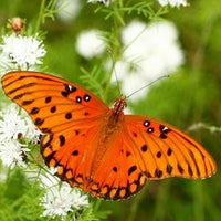 Educator's Kit - Gulf Fritillary
