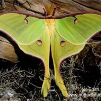 Moth Metamorphosis Kit - 4 Luna Moths