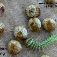 Luna Moth Caterpillars and Cocoons