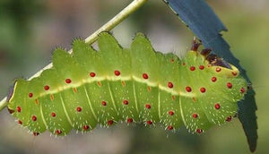 Luna Moth Caterpillars or Cocoons