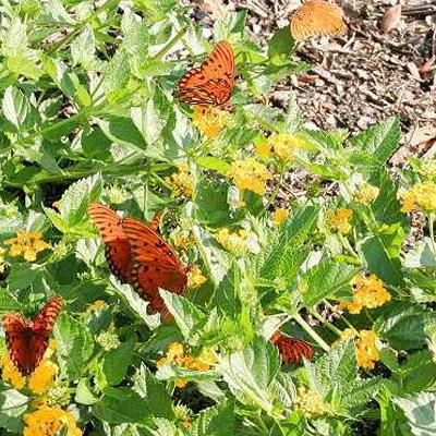 New Gold Lantana - Butterfly Nectar Plant