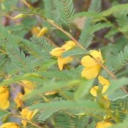 Partridge Pea - Chamaecrista fasciculata - Native Butterfly Host and Nectar Plant