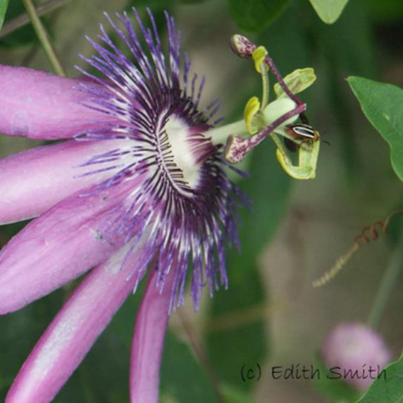 Passion Vine, Lavender Lady - Passiflora