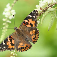 Painted Lady Butterfly Individual Cup Kit