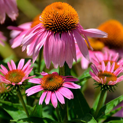 Purple Coneflower (Echinacea purpurea) - Native Butterfly Nectar Plant