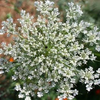 Queen Anne's Lace - Daucus carota - Butterfly Host Plant