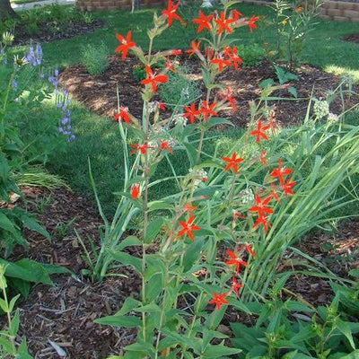 Royal Catchfly - Silene regia - Native Butterfly Nectar Plant