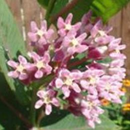 Prairie Milkweed (Asclepias sullivantii) - Native Butterfly Host and Nectar Plant
