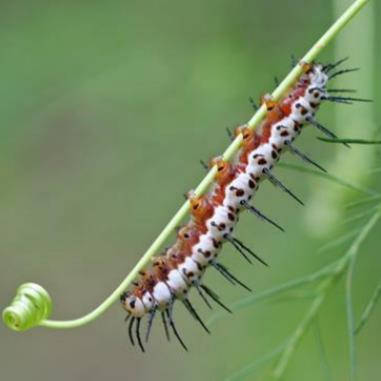 Zebra Longwing Butterfly Caterpillars and Chrysalises