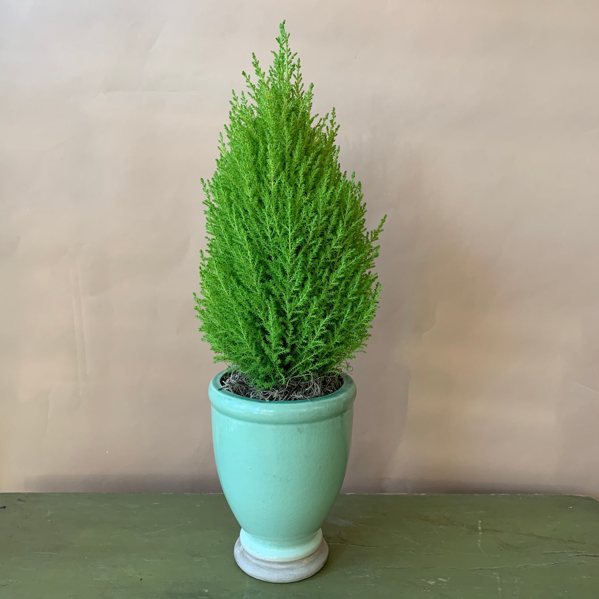 Potted Lemon Cypress