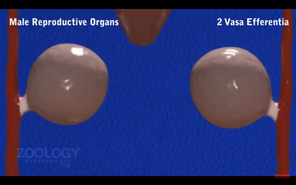 Video: Biology Animation - Leech Reproductive System