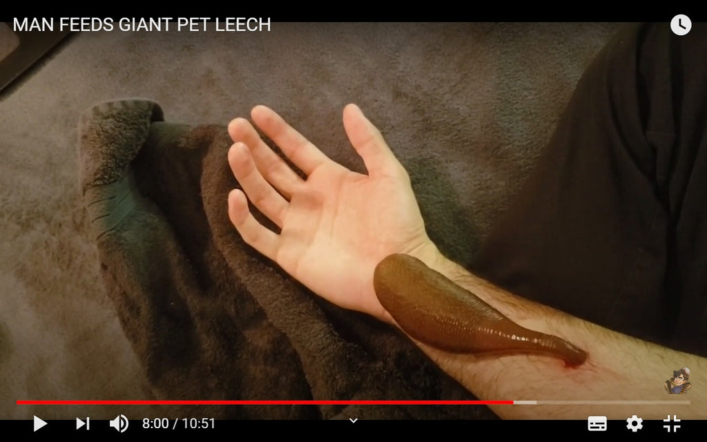 Video: Pet Leech Getting Fed