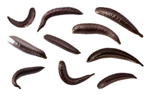 10 Large Live  Leeches