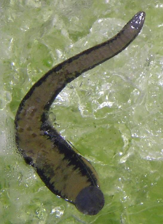 Hirudo Gel for Leech Transport