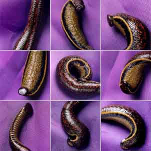 10 Live Leeches Mixed Sizes