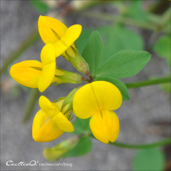Photo of yellow trefoil flower