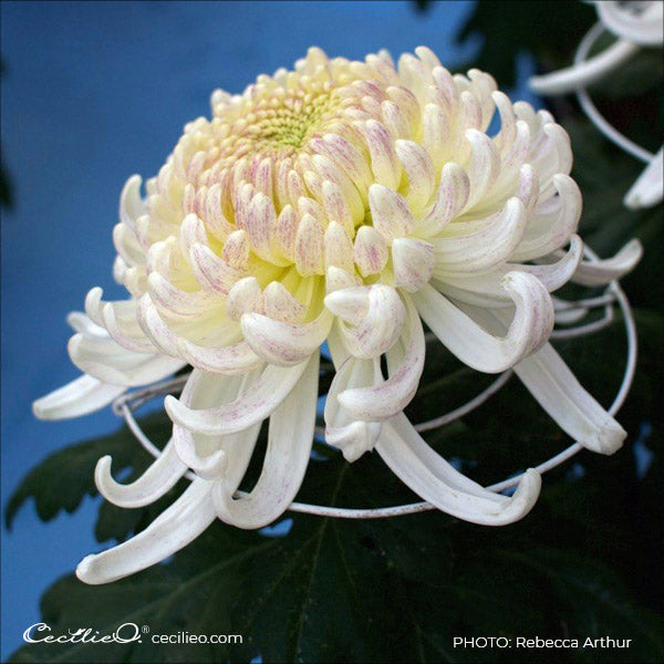 Photo of white chrysanthemum by Rebecca Arthur